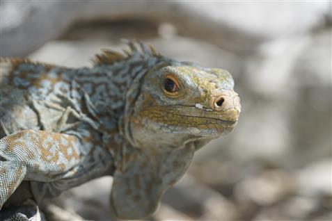 san salvador iguana.