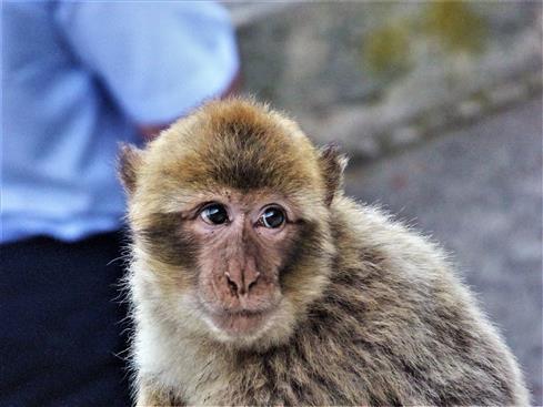 Makaken Portrait-ich lebe am Affenfels von Gibraldar