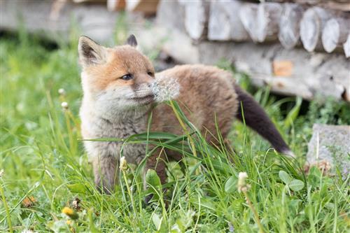 Fuchswelpe schnuppert an einer Löwenzahnblüte