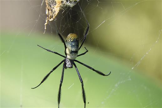Golden Orb Spider?