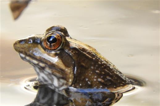 Südafrikanischer Frosch