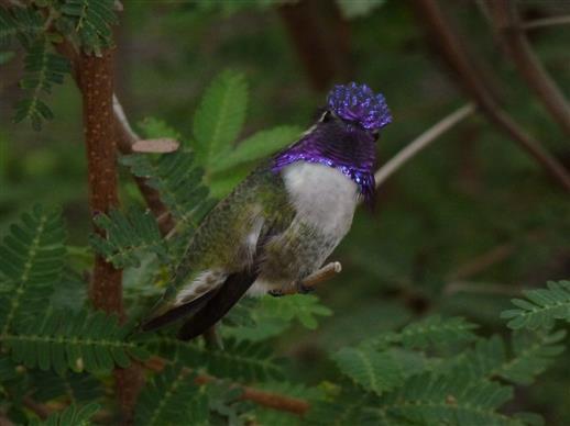 Colibri in Amerika