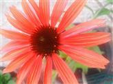 Roter Sonnenhut