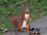 Eichhörnchen beim Nüsse stehlen!