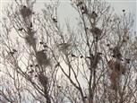Krähen-Kolonie