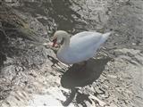 Höckerschwan mit Wasserspiegelung