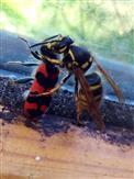 Wespe vs Bienenkäfer