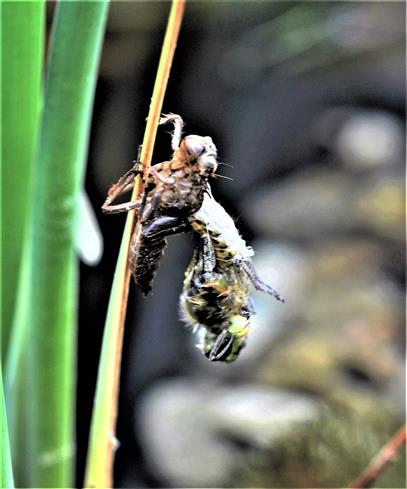 Schlupf einer Libelle