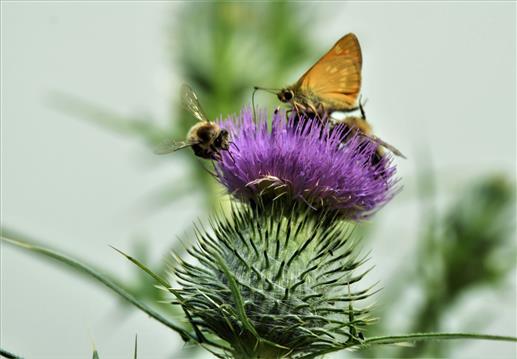 Kommafalter mit Bienen auf Kratzdistelblüte