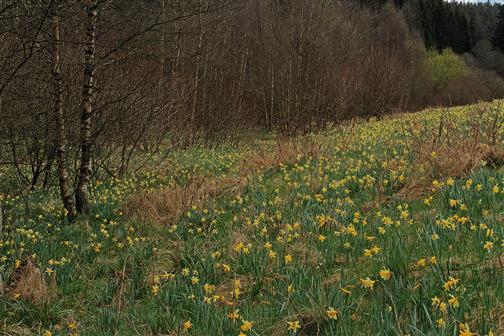 Wild wachsende Narzissen in der Eifel