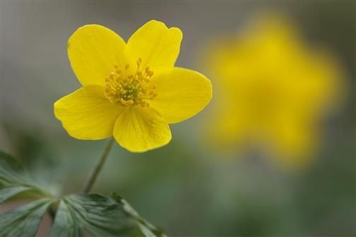 Gelbes Windröschen