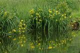 Sumpf-Schwertlilie