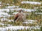 Falco tinnunculus Turmfalke Weibchen