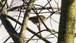 Sommergoldhähnchen Regulus ignicapilla