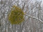 Eine Mistel im Winterwald