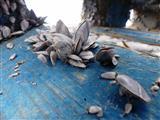 Entenmuscheln auf Treibholz
