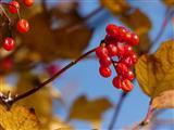 Schneeball-Früchte