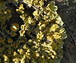 Apothecien einer Gelbflechte