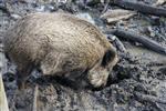 Wildschweinsuhle