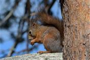Eichhörnchen im Kiefernwald