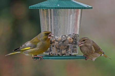 grünfinken paar an fütterung