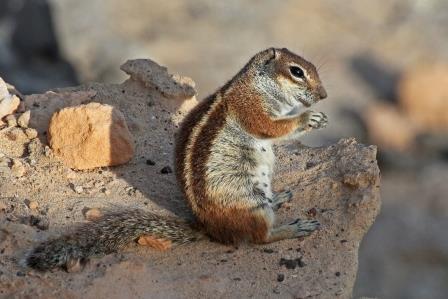 felsenhörnchen