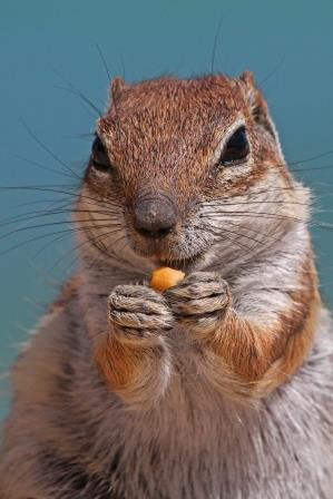 felsenhörnchen portrait