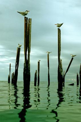königsseeschwalben auf pfosten