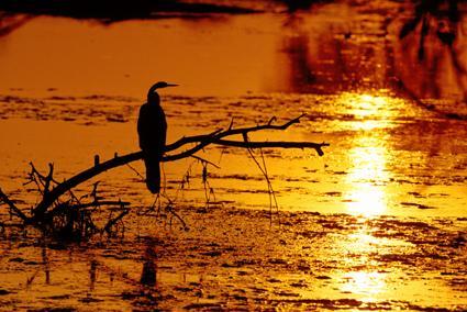 schlangenhalsvogel im sonneuntergang