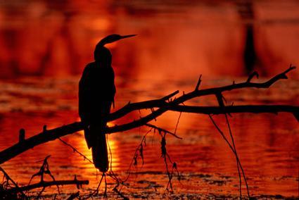 schlangenhalsvogel bei sonnenuntergng