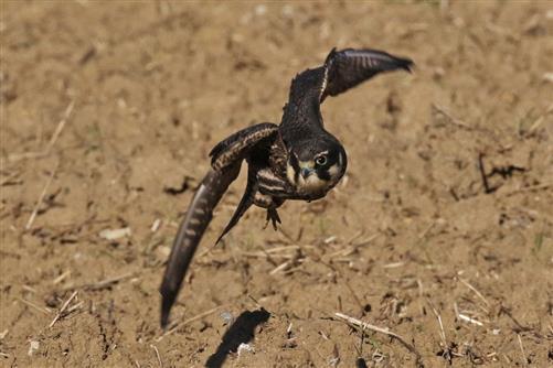 junger baumfalke fliegt los
