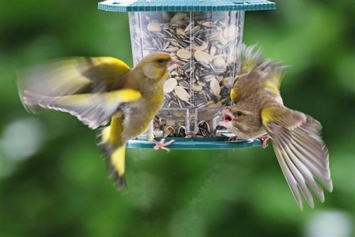 grünfinken streiten