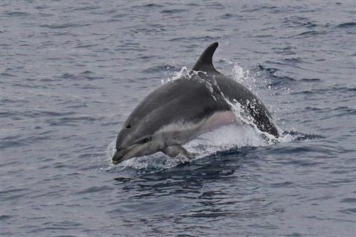 delfin gr. tümmler