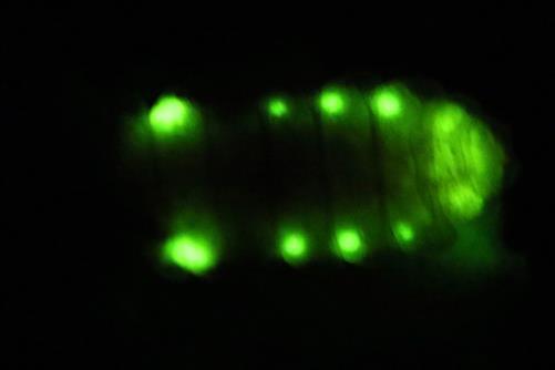 kleiner leuchtkäfer weib leuchtet