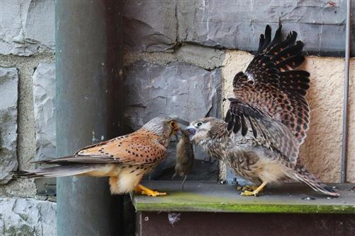 turmfalke männchen bringt maus zu jungvogel