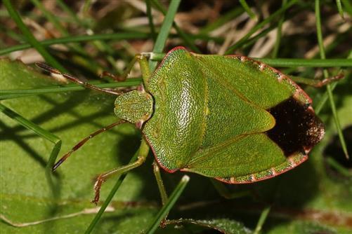 grüne stinkwanze adult