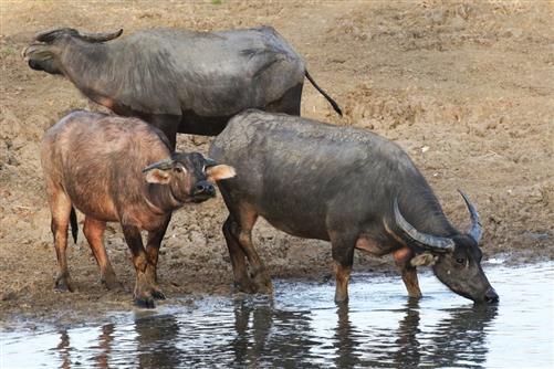 büffel trinken