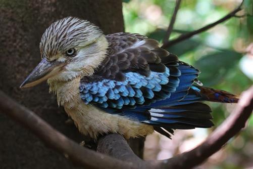 kookaburra haubenliest