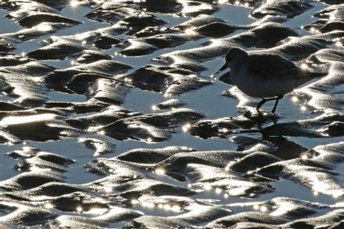 sanderling im watt