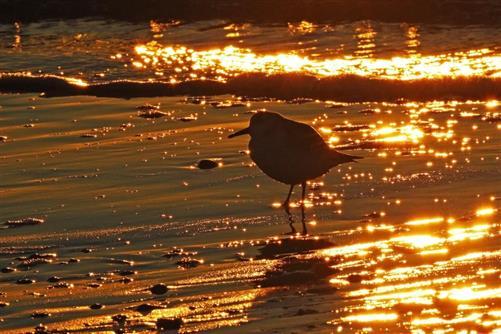 sanderling im abendlicht
