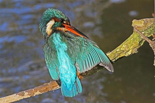 eisvogel putzt flügel