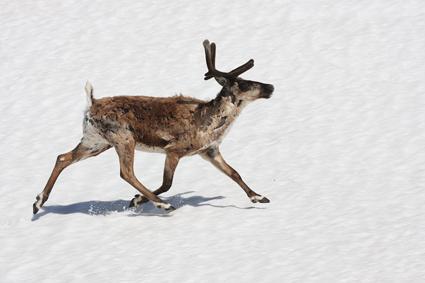 rentier läuft über schneefeld