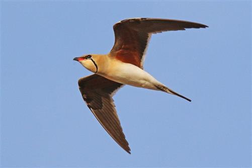 rotflügel brachschwalbe