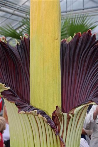 titanenwurz: größte blüte im pflanzenreich