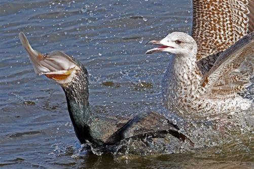 silbermöwe scheucht kormoran
