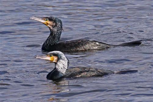 kormorane sinensis brutkleid