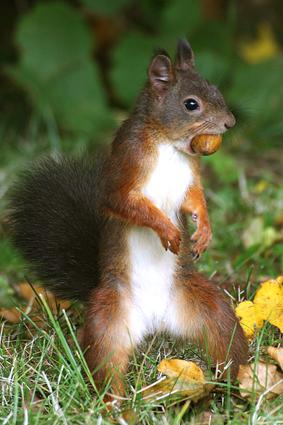 eichhörnchen sucht versteck für eichel