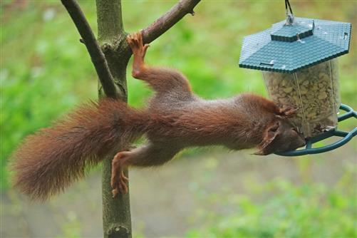 eichhörnchen plündert vogelfutter 1