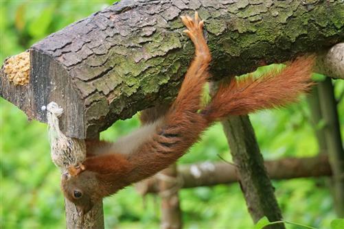 eichhörnchen plündert vogelfutter 2