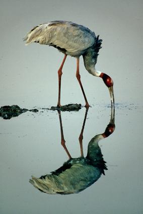 saruskranich spiegelbild